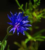 Blue... by FeliFee