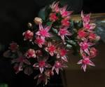 Tiny Pink Stars...