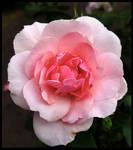 Pink Meidiland...