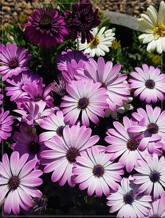 Purple Stars... by FeliFee