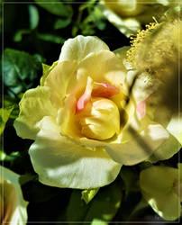 My Shy Rose... by FeliFee
