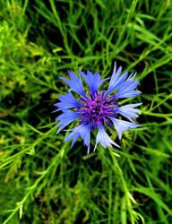 Blue Star... by FeliFee