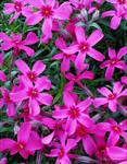 Pink Passion...