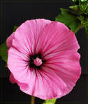 Pink Malva... by FeliFee