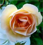 Cream Rose...