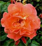 Peachy Rose...