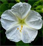 White Wonder...