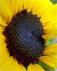 Heart of Sunflower...