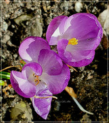 First Spring Flowers...