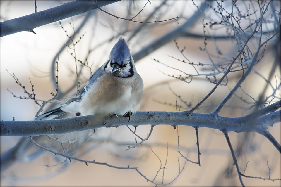 Morning Blue Jay by Behrfeet