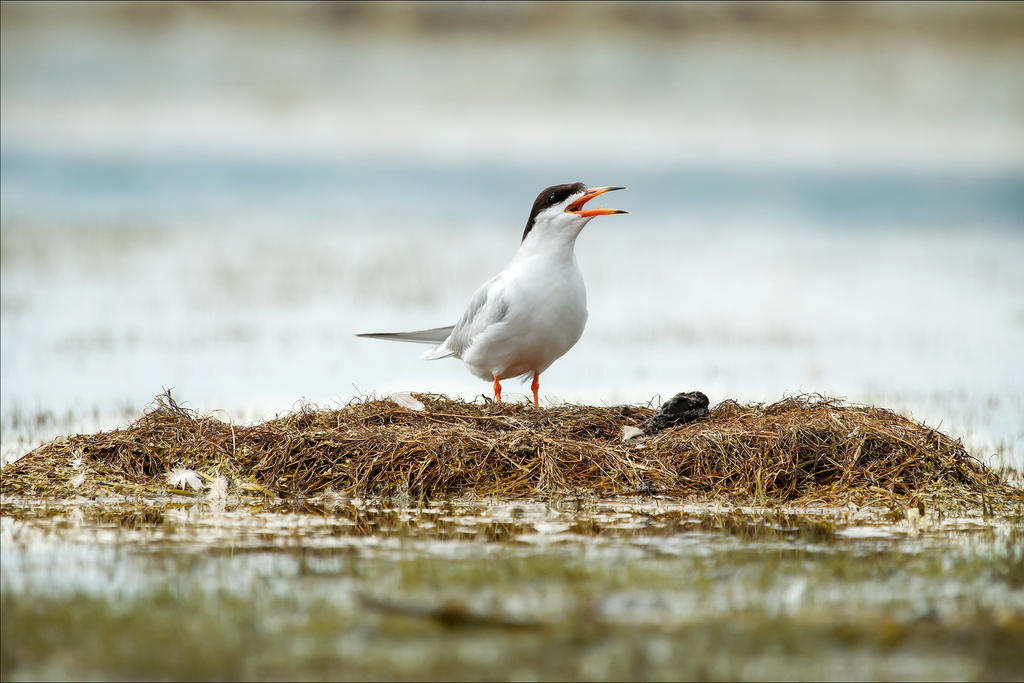 Protective Tern by Behrfeet