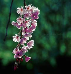 cherry blossom by bailey--elizabeth