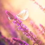 Butterfly II by Lindqvist