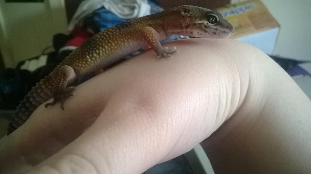 Leopard Gecko named...Godzilla by kakashilover1