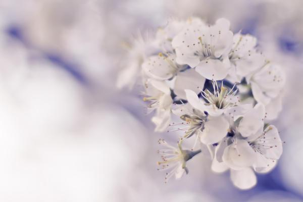 Cherry blossoms by rejmann