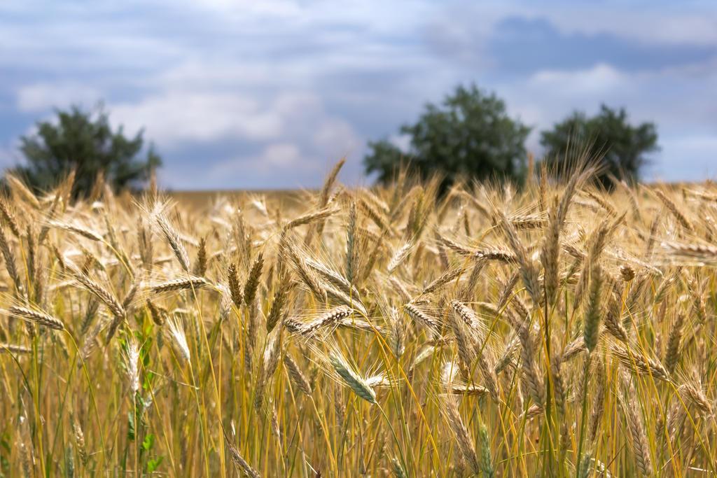 Field of corn by rejmann