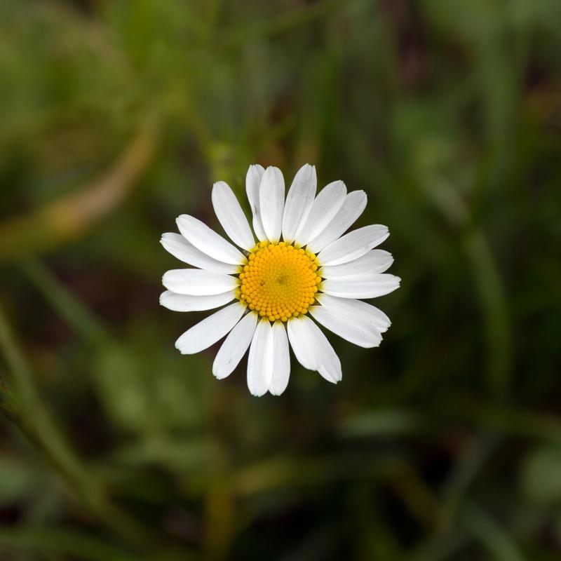 Daisy by rejmann