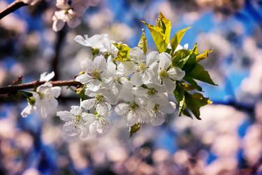 Flower Cherry Plant