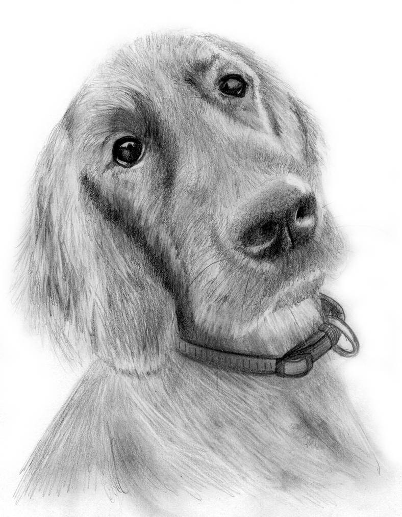 Red setter dog pencil drawing by portraitartuk on deviantart