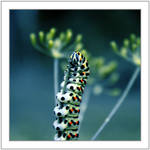 Caterpillar by Sommersprotte