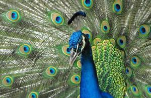 Wilderness Garden Peacock by SalemCat