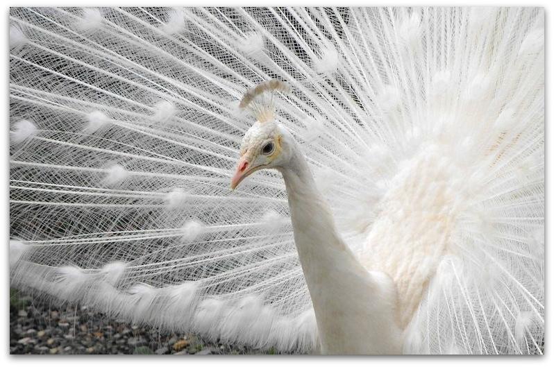 The White Peacock by SalemCat