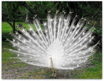 A Proud White Peacock
