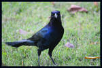 One Bad Ass Grackle
