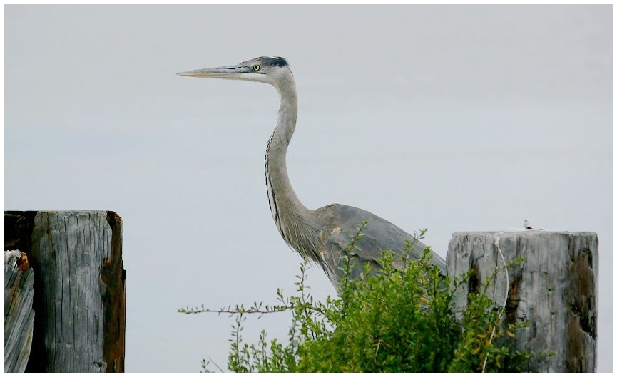 The Great Blue Heron by SalemCat