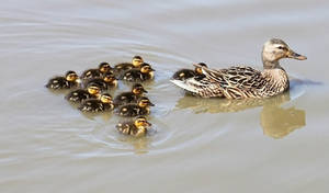 Momma and Ducklings