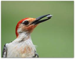 Red Bellied Woodpecker by SalemCat