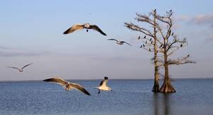 Gulls Flying Over Lake Palourde