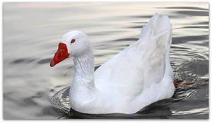 Graceful Goose