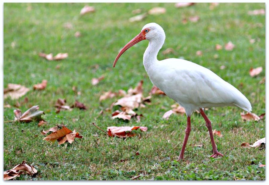 White Ibis by SalemCat