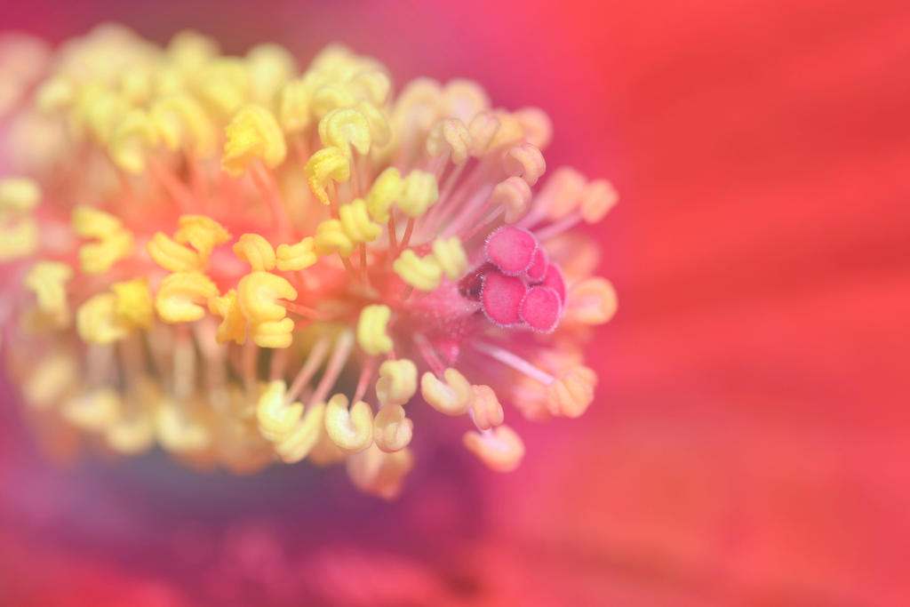 rainbow hibiskus by vekoridia