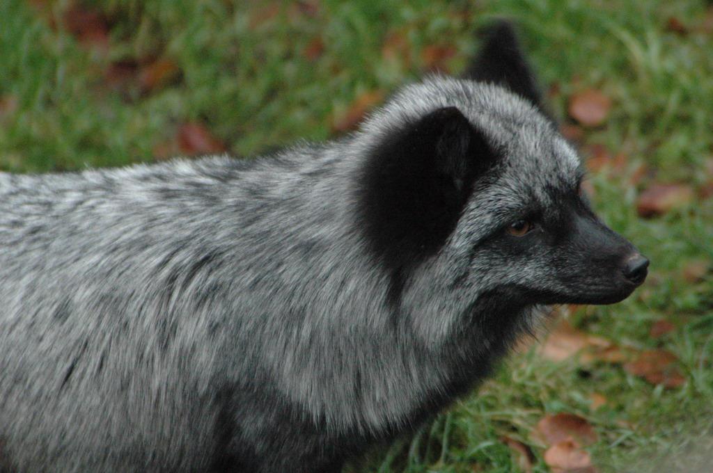 Silver Fox pt. 1