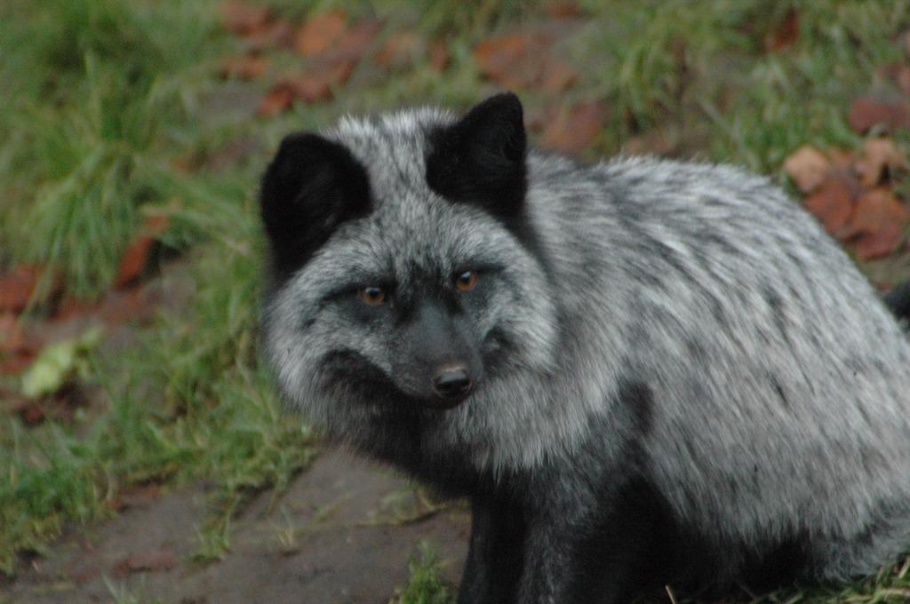 Silver Fox Pt 3 By Akifox On Deviantart