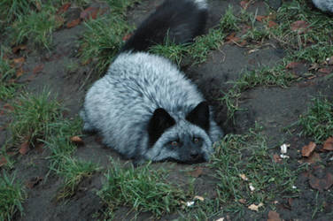 Silver Fox pt. 4 by AkiFox