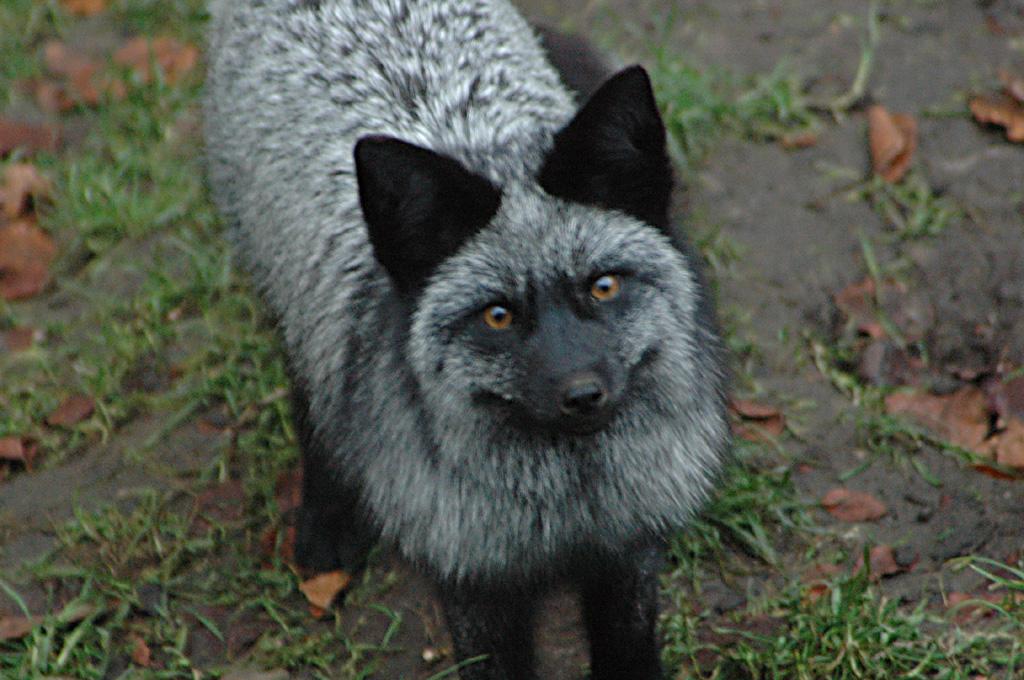 Silver Fox Pt 6 By Akifox On Deviantart