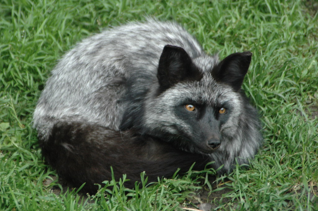 Adult Silver Fox by AkiFox on DeviantArt