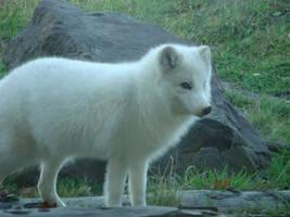 Polar Fox 2 by AkiFox