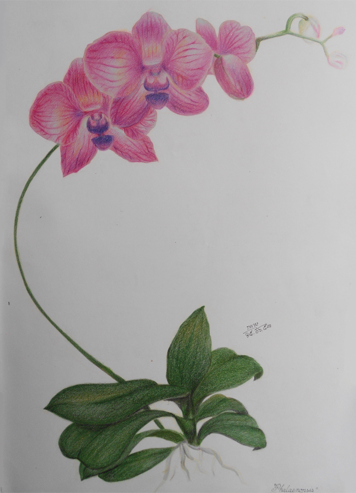 Orchid - Color Pencil Drawing Study by shikifourseasons on DeviantArt