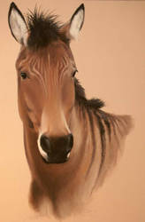 Stormy, the Zorse