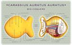 Goldfish Cracker Dissected WP