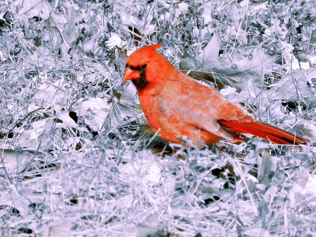 Selective Color Cardinal by Hederahelix82688