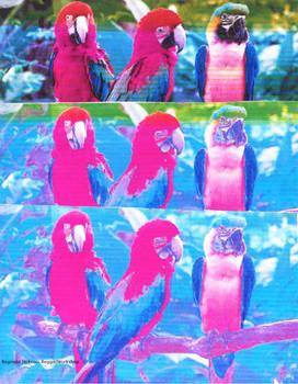 Puffy Parrots (Photo Manipulation)