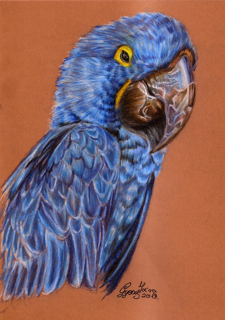 Blue Macaw Drawing Hyacinth macaw by MoiraGyenes