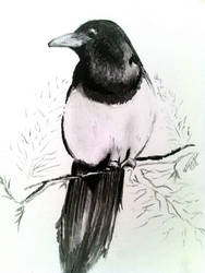 Magpie in Pencil and Charcoal