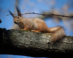 red_squirrel720