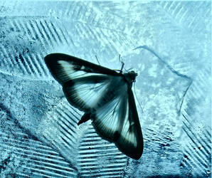 Moth on blue glass by Ommadawn